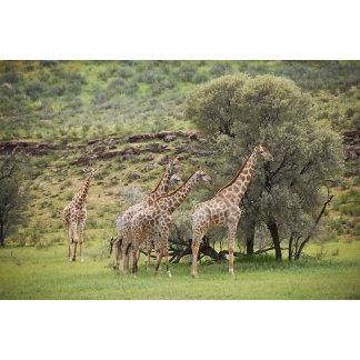 Giraffe, Giraffa camelopardalis, Kgalagadi