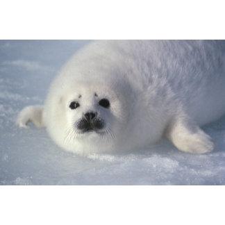 Harp seal Phoca groenlandica) A week-old harp