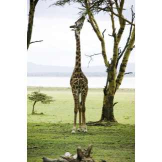Giraffe in Kenya, Africa