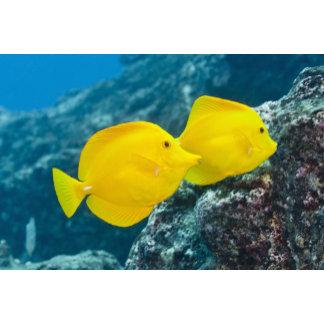 A Pair of Yellow Tangs