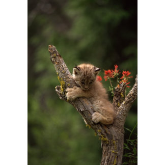 Baby Lynx Climbing