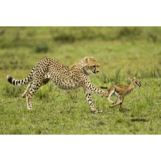 Cheetah, Acinonyx jubatus, cubs hunting and