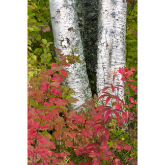 Birch Betula) trunks with Wild Currant