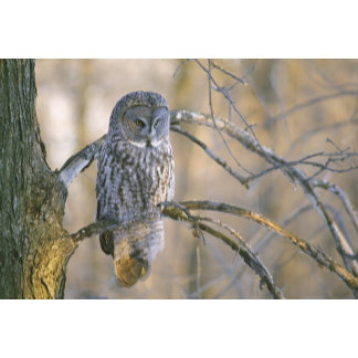 Canada, Quebec. Great gray owl perched on tree