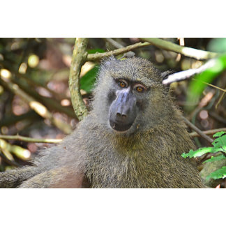 Baboon at Kibale