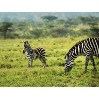 * Zebra