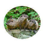 Baby Groundhogs2ZAZZround.png