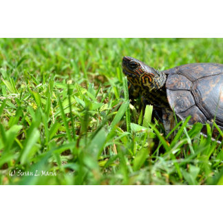 ornate wood turtle looking left on grass