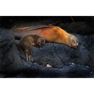 Sea Lion cub Miller