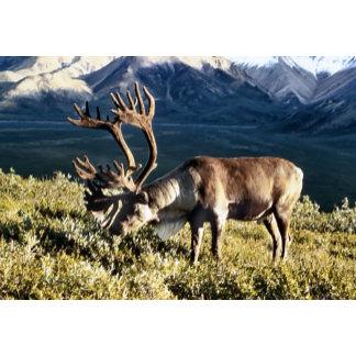 Caribou / Reindeer