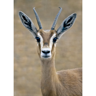 Antelopes and Gazelles