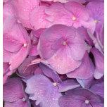 Pink Dew.JPG