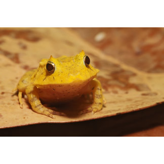 a Solomon Isle Leaf Frog - Ceratobatrachus