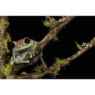 Central PA, USA, Maroon Eye Frog Moon Frog);