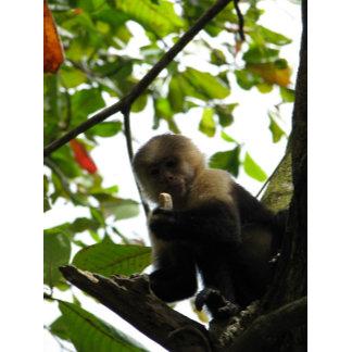 A Capuchin Picnic Thief