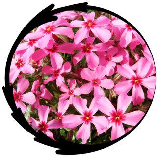 Pink Phlox Photo