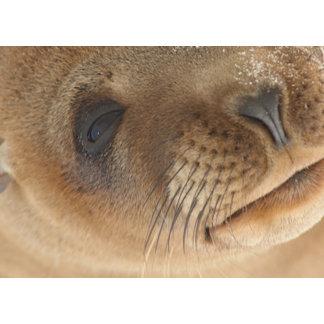 Sea lion pup Settlemeyer