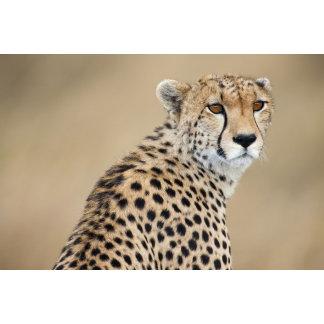 Alert Cheetah Acinonyx jubatus), Masai Mara
