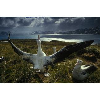 Albatross Island, Falkland Islands Dependencies.