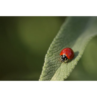 Convergent ladybird beetle on Cleveland sage