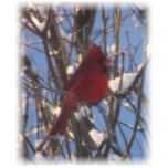 cardinal bird in snow.jpg