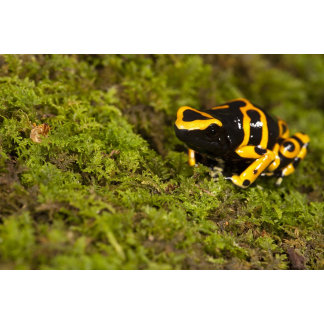 Central PA, USA, Bumble Bee Dart Frog;