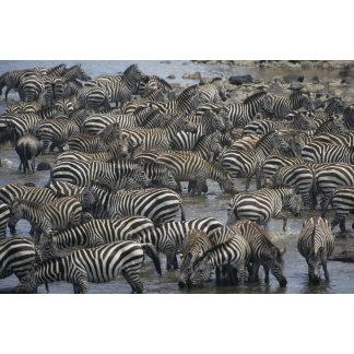 Burchell's zebras (Equus burchelli), Masai Mara,