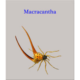 Macracantha