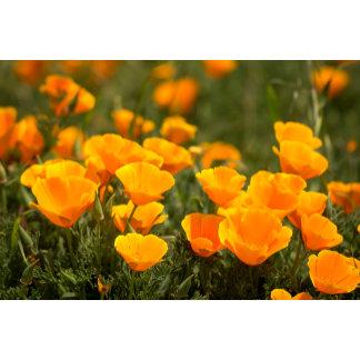 California poppies, Montana de Oro State Park