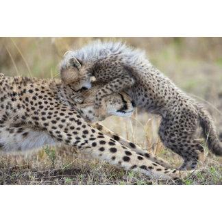 Cheetah (Acinonyx jubatus) mother playing with