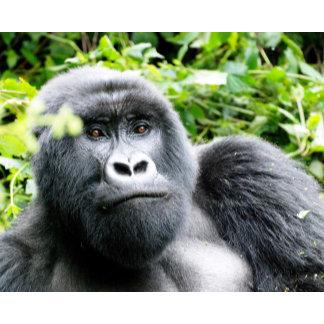 Adolescent male mountain gorilla