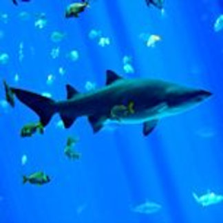 Black Tipped Shark