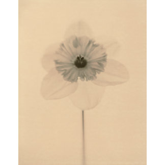 """Daffodil Jonquil Sepia Photo Poster Print"""
