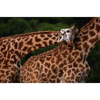 Giraffe (Giraffe camelopardalis tippleskirchi)