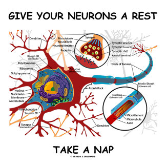Give Your Neurons A Rest Take A Nap Neuron Synapse
