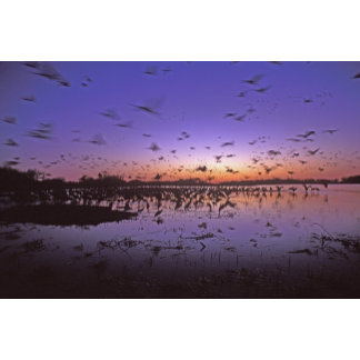 Sandhill Cranes Grus canadensis) Platte 2