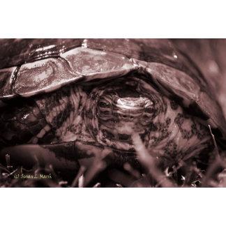 Wood turtle ornate head on in grass reddish