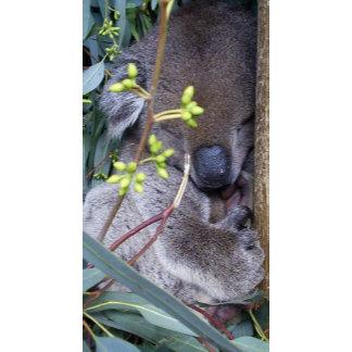 Koala Sleepy
