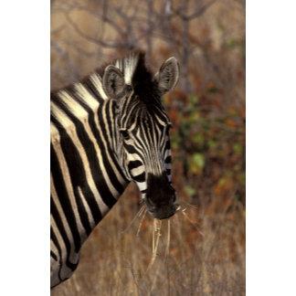 Africa, South Africa, Kruger NP Zebra portrait
