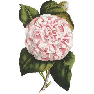 Vintage Camellias
