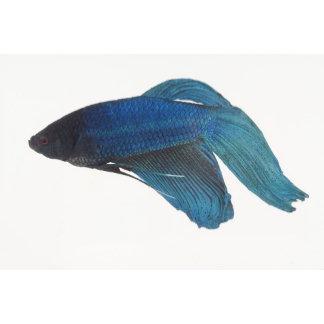 Betta Fish or Male Blue Siamese Fighting Fish