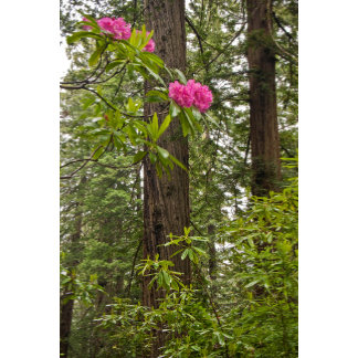 Rhododendrons Blooming With Coast Redwood Trees