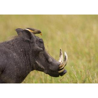 Common Warthog Phacochoerus africanus) with