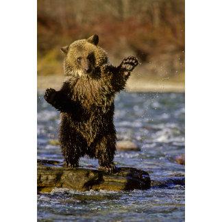 Alaska, USA, Grizzly Bear, Ursus arctos, cub