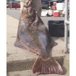 big ol halibut by brad.jpg