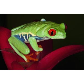 a Red Eyed-Tree Frog (Agalychnis callidryas)