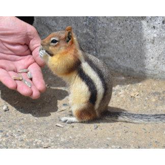 Chipmunk feed on sunflower seeds