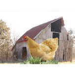 hen & old barn-z.png