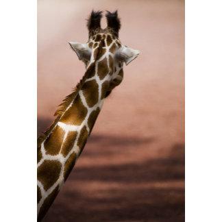 Close-up of Somali giraffe (Giraffa