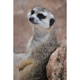 * Meerkat